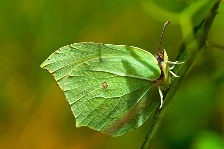 butterfly-valley-gonepteryx-rhamni