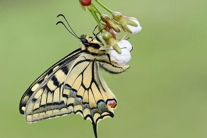 butterfly-valley-papilionidae-grama-mircea