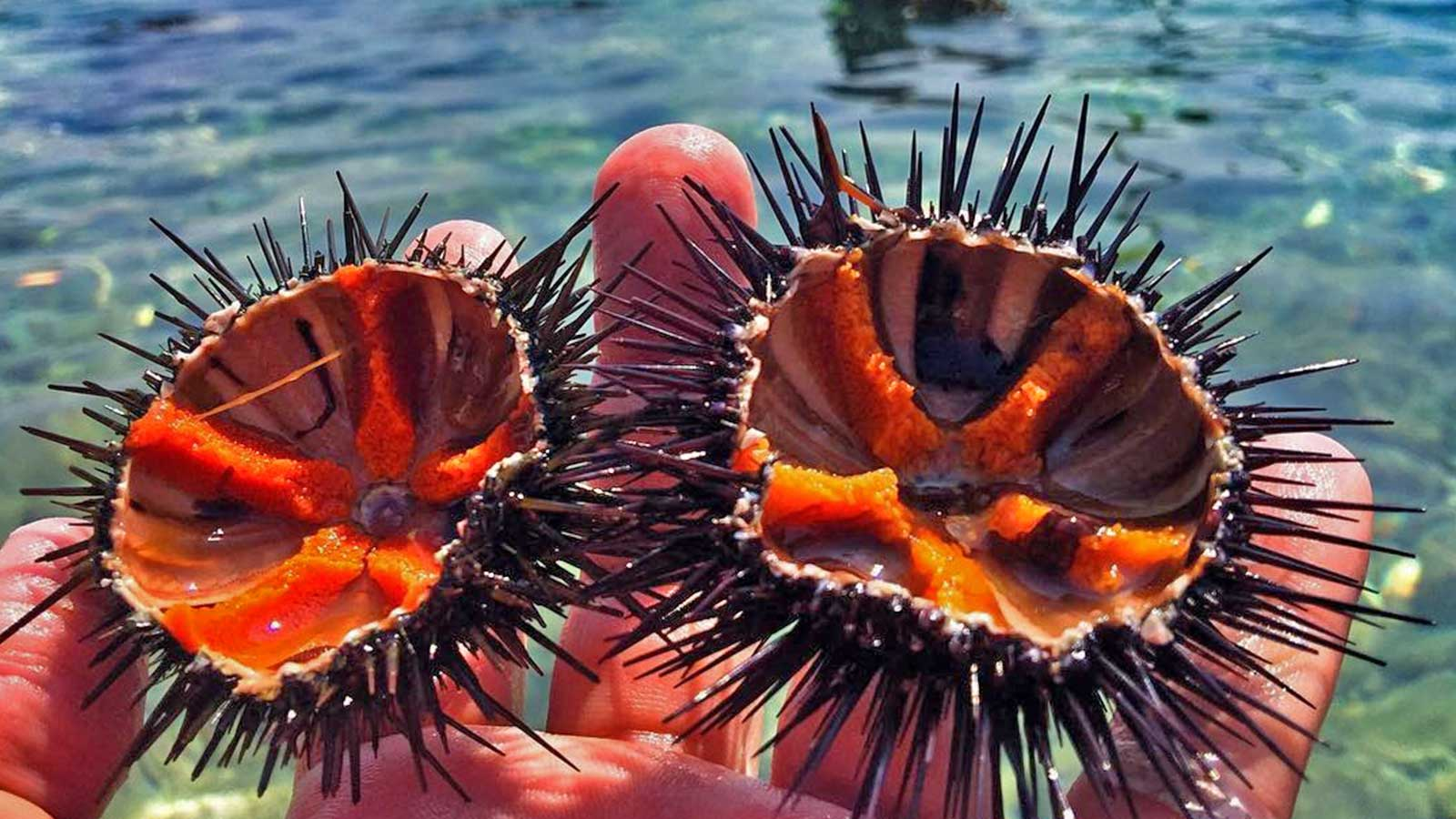 sea urchins of ayvalİk