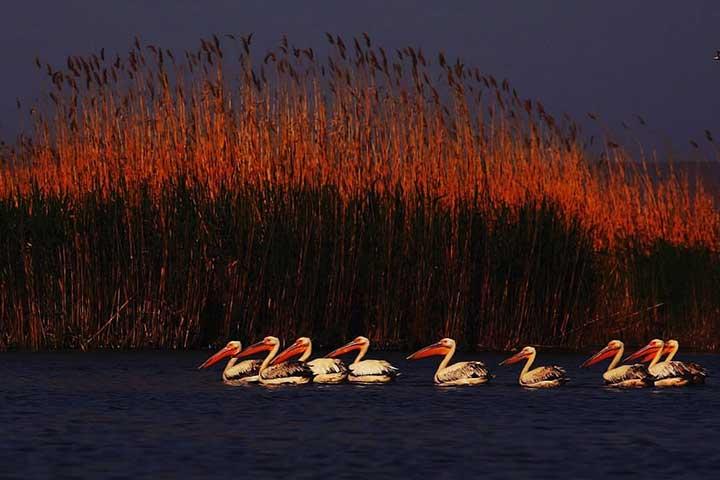Reeds Beds Turkey Pelicans